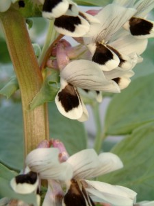 Broad bean flower - designed for a bee