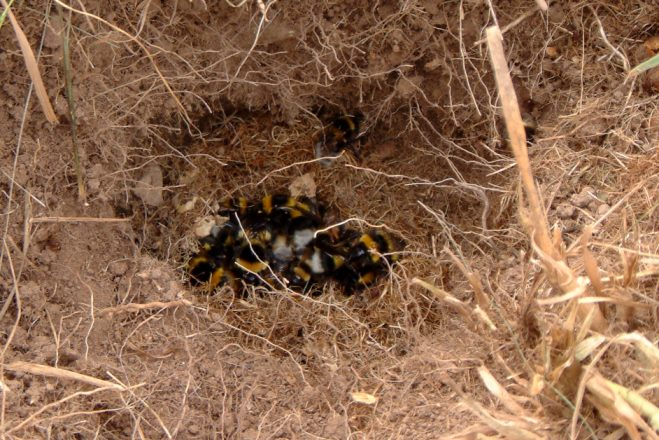 Bumblebee nest - photo#22