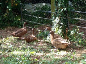 Our new Khaki Campbell ducks.