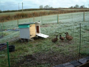 Ducks investigating new run (but not the house!)