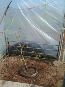 Fig tree in place