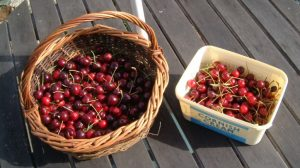 First cherry harvest. Sweet (left) and sour (right)